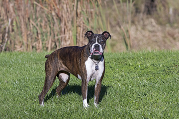 Senior Boxer dog portrait in a field.