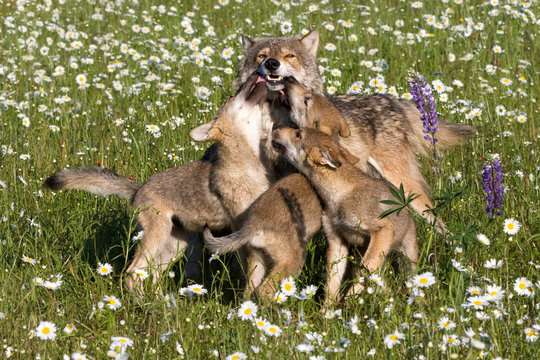Wolf Pups Playing with Mom