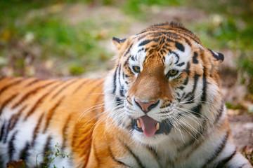 Молодой уссурийский тигр лежит на траве