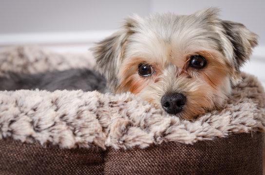 Calm Morkie lying in a dog cushion