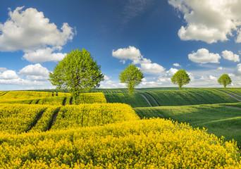 Fototapeta wiosenne pole,zielone zboże,kwitnący rzepak obraz