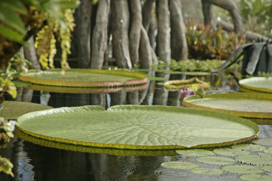 victorian water lillies