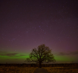 the age-old lone oak on a background of the Northern Lights