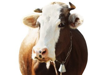 Cow on white background, closeup. Farm animal concept.
