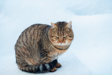 Portrait of gray adult cat walking on the snow outdoor