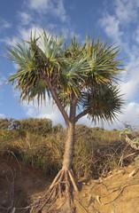 Tropical Pandanus tree in Tropical Queensland