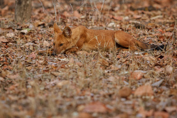 Indian wild dog is resting in the nature habitat, very rare animal, dhoul, dhole, red wolf, red devil, indian wildlife, dog family, nature beauty, cuon alpinus