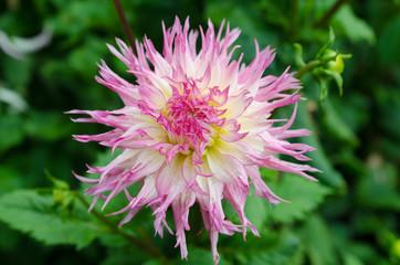 one lovely flower in the family dahlia