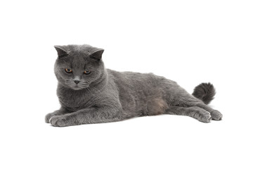 beautiful cat lying on a white background