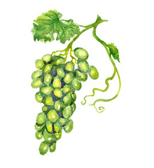 Bunch of white grapes with leaf, hand painted watercolor illustration