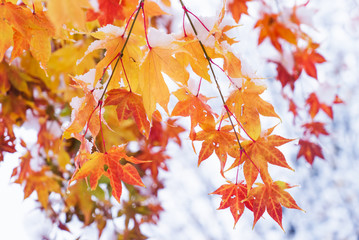 red and yellow fall maple tree covered in snow / hokkaido japan