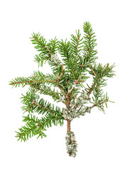 Pine sprig. Fresh green fir. Christmas tree branches