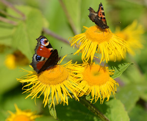 The peacock on a yellow flower