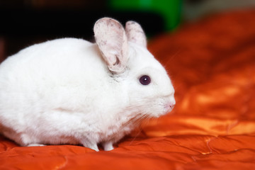 White chinchilla is sitting on orange bedspread