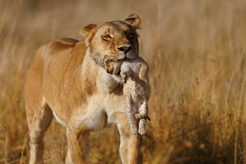 Wall Mural - Lion mother carrying her baby in a new hiding place in Masai Mara, Kenya