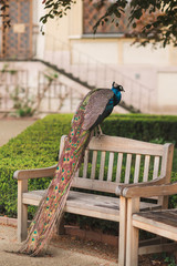 peacock on the bench in the garden