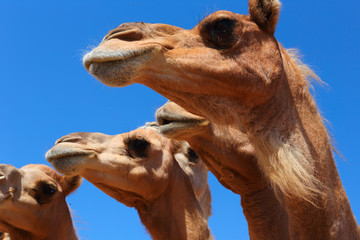 Poster Kameel Camels in the desert