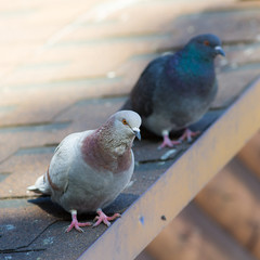 two pigeons on the roof