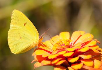 Bright yellow Cloudless Sulphur butterfly feeding on an orange flower
