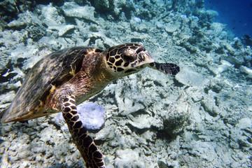 Meeresschildkröte beim auftauchen, Malediven
