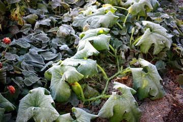 Frost damage in the vegetable garden.