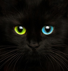 Black cat with eyes of different colors closeup