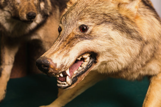 Muzzle the wolf close-up. Scary wild animal close up. Wolf Eyes and teeth. Scarecrow animal.