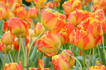 colorful tulips. tulips in spring,colourful tulip.