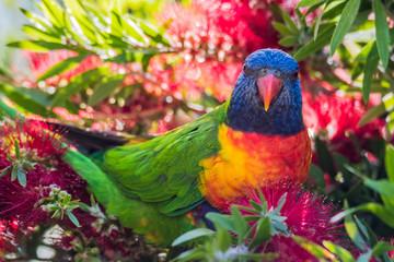 Rainbow Lorikeets & Bottlebrush in springtime