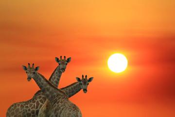 Giraffe Silhouette - African Wildlife Background - Iconic and Symbolic Sunset Wonder