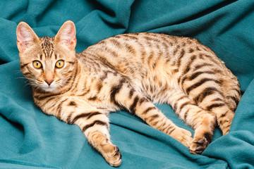 Prionailurus bengalensis. Joven Gato Bengalí, tumbado.