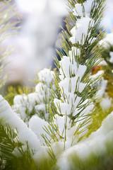 Snowy fir branch