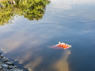 Dead Fish Floating in Water