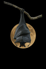 Bat hanging on suppermoon
