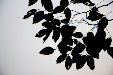Leaves black silhouettes on gray background-branches silhouette