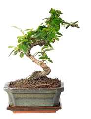 green bonsai tree isolated on white