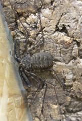 Фрин  или бесхвостый скорпион