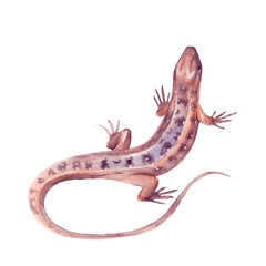 Lizard. isolated on white background. Watercolor illustration 02