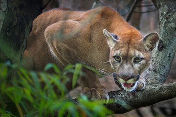 Photo sur Aluminium Puma Mountain lion; puma
