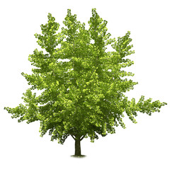 Single tree isolated on white background