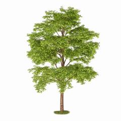 Single tree isolated on white background