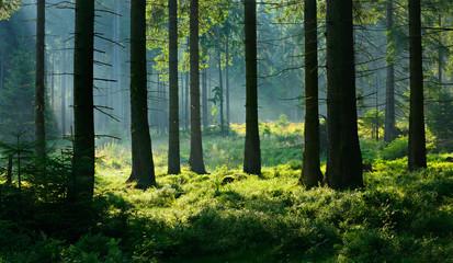 Unberührter nebliger naturnaher Fichtenwald im Gegenlicht Wall mural
