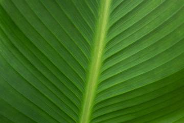 Palm leaf close-up. Veins palm leaf green natural background