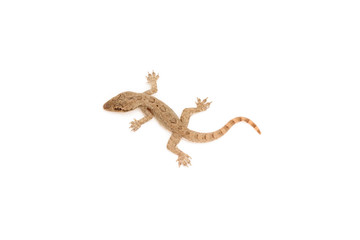 Young lizard isolated on white background.