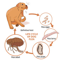 Life Cycle Of Dog Flea. Vector Illustration. Infection. The Spread Of Infection. Diseases, Fleas Animals. Fleas Life Cycle. Stages Of Development. Veterinary Medicine. Sick Dog.