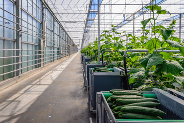 Long corridor with picking carts in a nursery of cucumbers