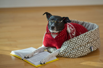 Black - white dog wearing glasses and red suit on his couch in the middle of an empty room.