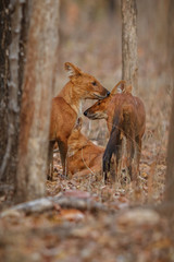 Indian wild dogs pair in the nature habitat, very rare animal, dhoul, dhole, red wolf, red devil, indian wildlife, dog family, nature beauty, cuon alpinus