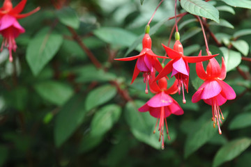 Hanging fuchsia flowers in shades of pink