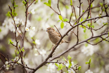 sparrow sitting on a flowering tree,  sparrow in the spring garden